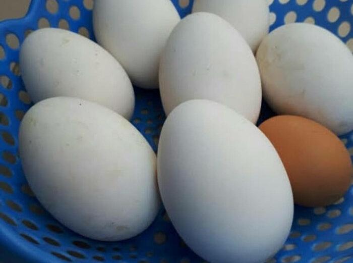 Manfaat Telur Angsa Yang Sangat Jarang Diketahui Oleh Banyak Orang